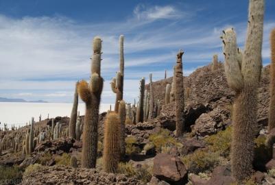 Wyspa kaktusów na Salar de Uyuni (4)